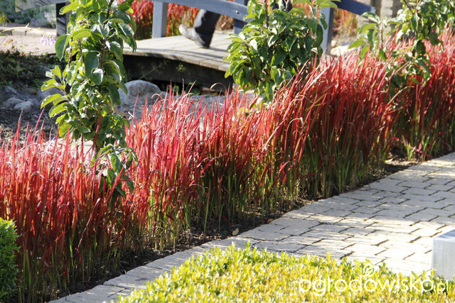 imperata cylindryczna imperata cylindrica 39 red baron 39 forum ogrodnicze ogrodowisko. Black Bedroom Furniture Sets. Home Design Ideas