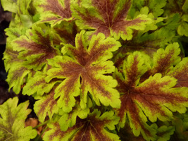 "Heucherella ""Golden Zebra"""