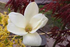 "Kwiat magnolii ""Yellow River"""